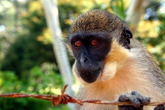 monkey-gambia